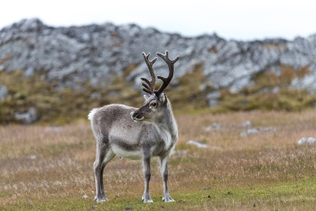 Wild reindeer in tundra at summer time