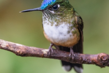 Violet-tailed sylph perched on a tree branch