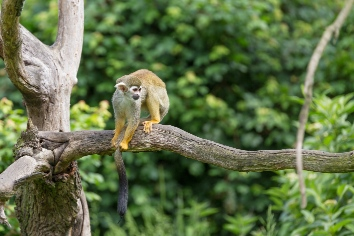 Portrait of squirrel monkey saimiri sciureus sitting on a tree branch
