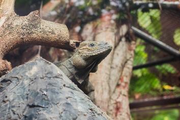 Rhinoceros iguana is a rare wild animal.