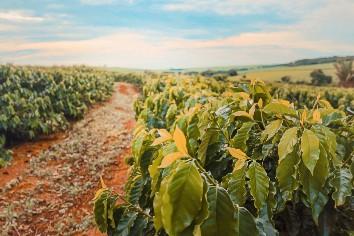 Coffee farm field