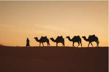 Four camels in a row walking in a dune with a sunrise light in the back