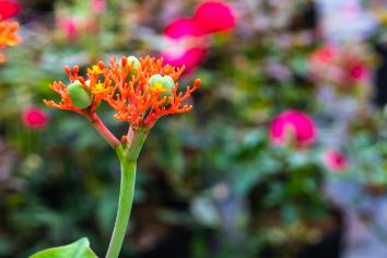 Gout plant