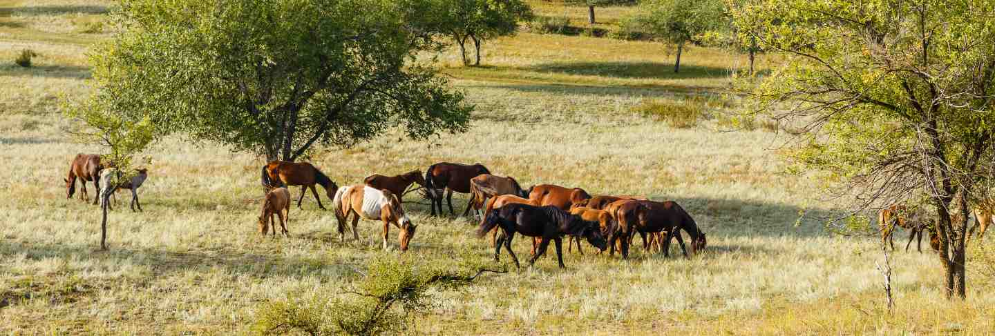 Flock of horses eating grass in a pasture mongolia