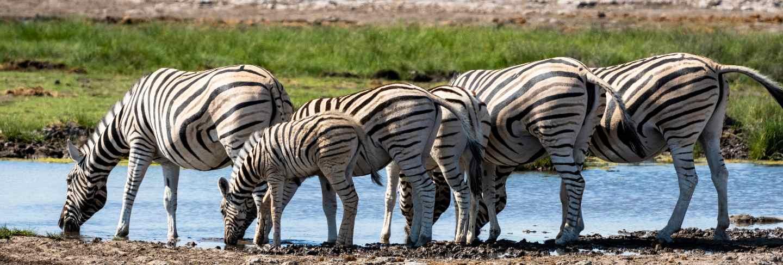 herd-zebra-eating-glass-field-etosha-national-park-namibia