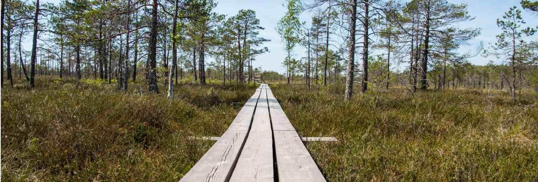 Swamp trail. summer sunny day. kemeri national park nature trail