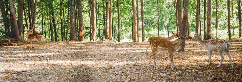 Sika or spotted deers in latvia in summer