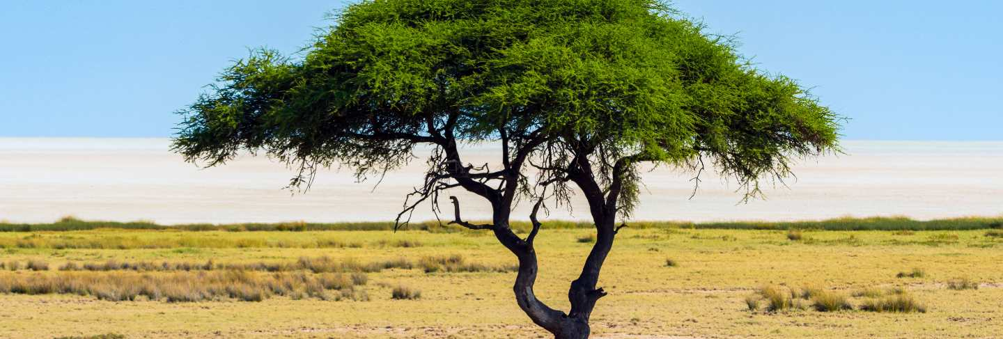 Lonely acacia tree (camelthorn) with blue sky background in etosha national park, namibia. south africa