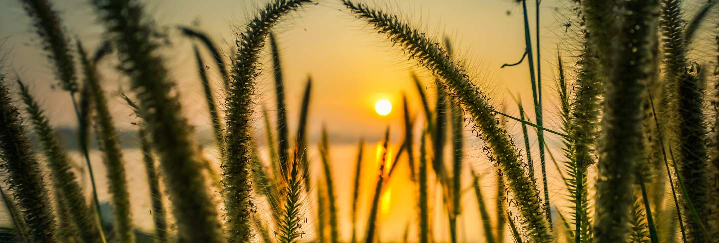 Beautiful scene with wild grass on a sunset.