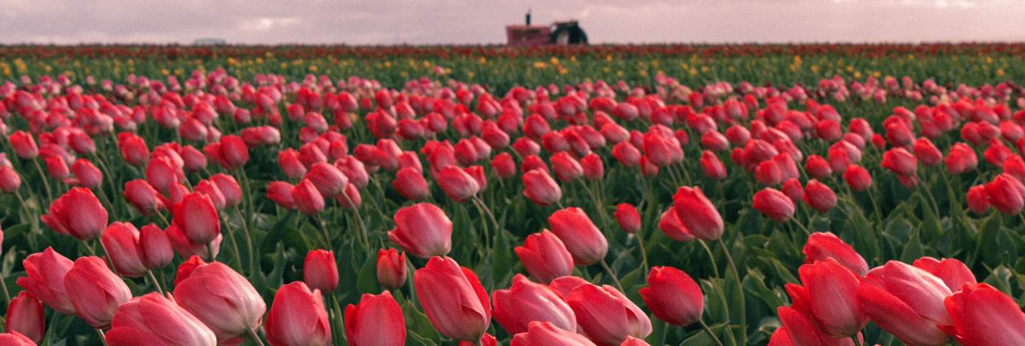 Beautiful shot of red tulips blooming in a large agricultural