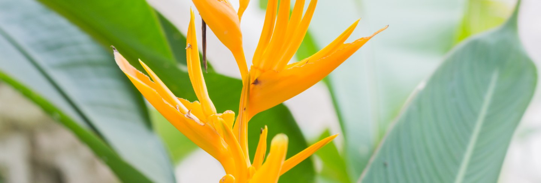 Heliconia golden torch (heliconia psittacorum x heliconia spathocircinata)