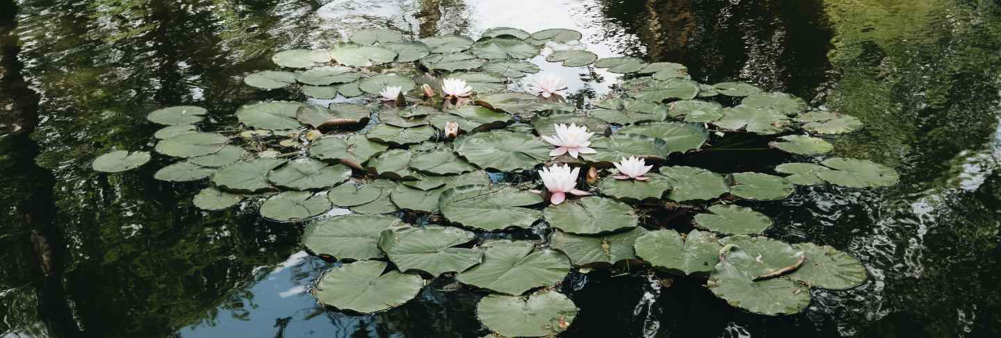 Water lilies on the lake in the dracula castle yard, transilvania