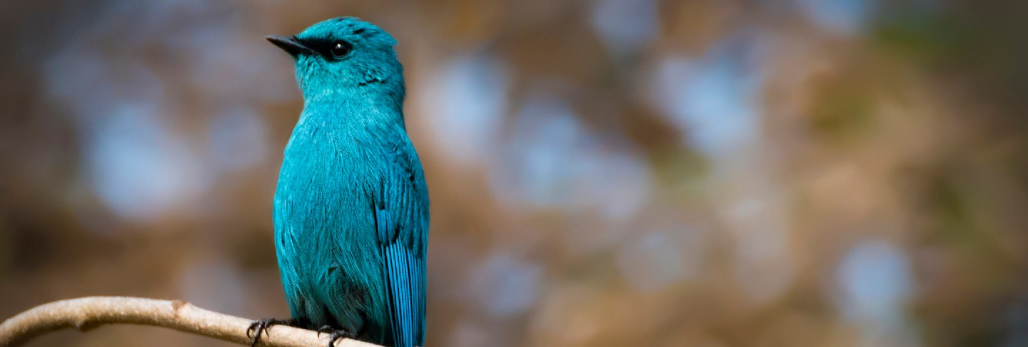 Beautiful blue bird verditer flycatcher