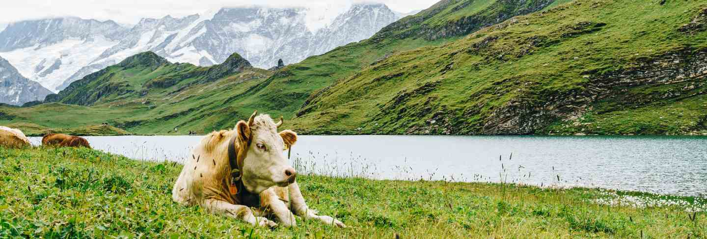 Cow in Switzerland alps mountain Grunewald