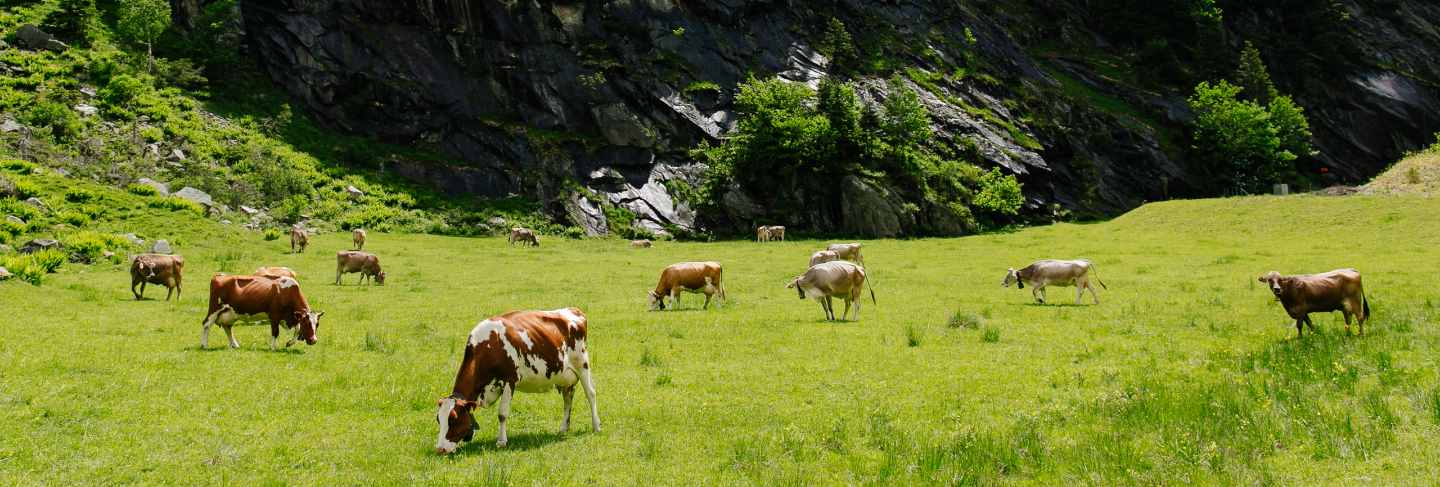 Cows grazing on a green field. cows on the alpine meadows. beautiful alpine