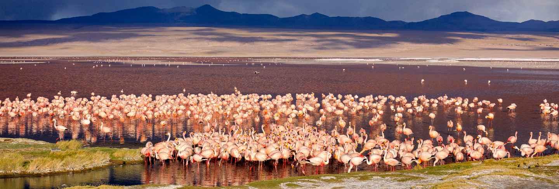 The huge colony of james flamingo in laguna colorada, Bolivia.