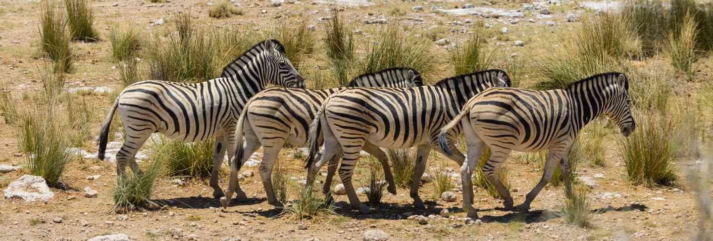 Wild zebras walking in the african savanna