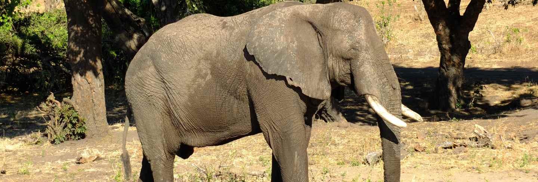 The elephant on the coast of Zambezi river, Botswana