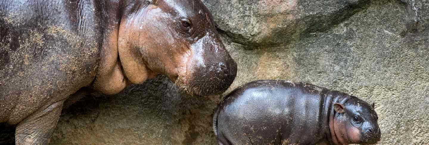 Mother and baby pygmy hippo in the atmosphere of nature