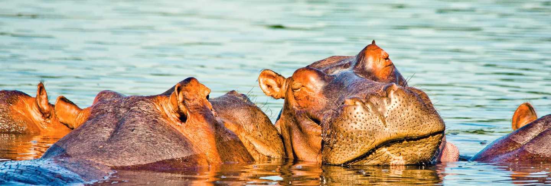 Wild hippo portrait