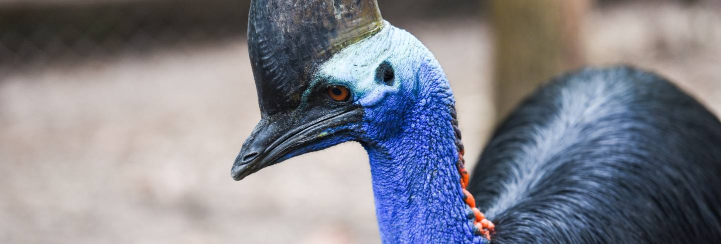 The southern cassowary is a large bird - close up cassowaries bird