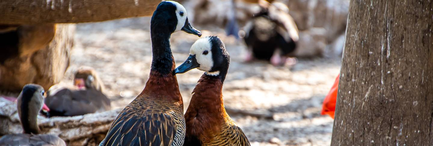 Close-up of a couple of white-faced whistling duck