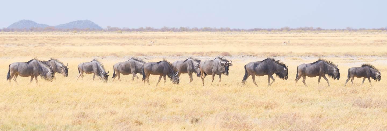 Herd of blue wildebeest grazing in the bush