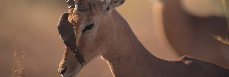 Bird standing on a gazelle face