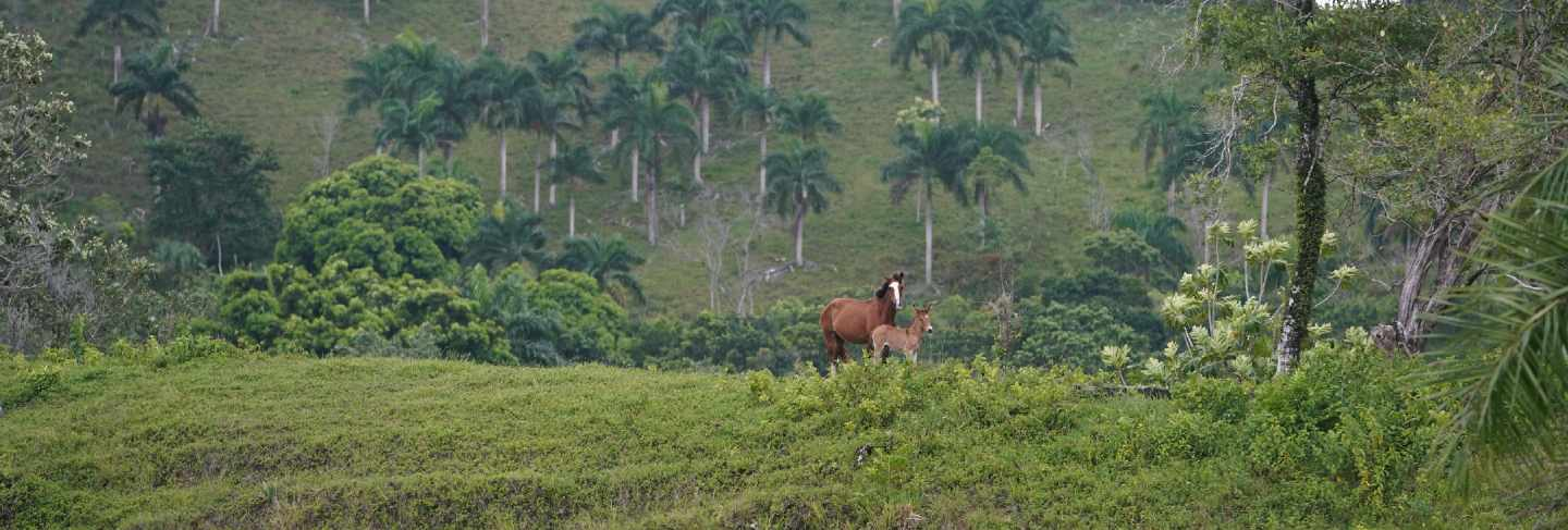Two horses standing on a grassy hill in distance with trees in the dominican republic