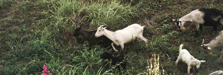 Goat herd on mountain