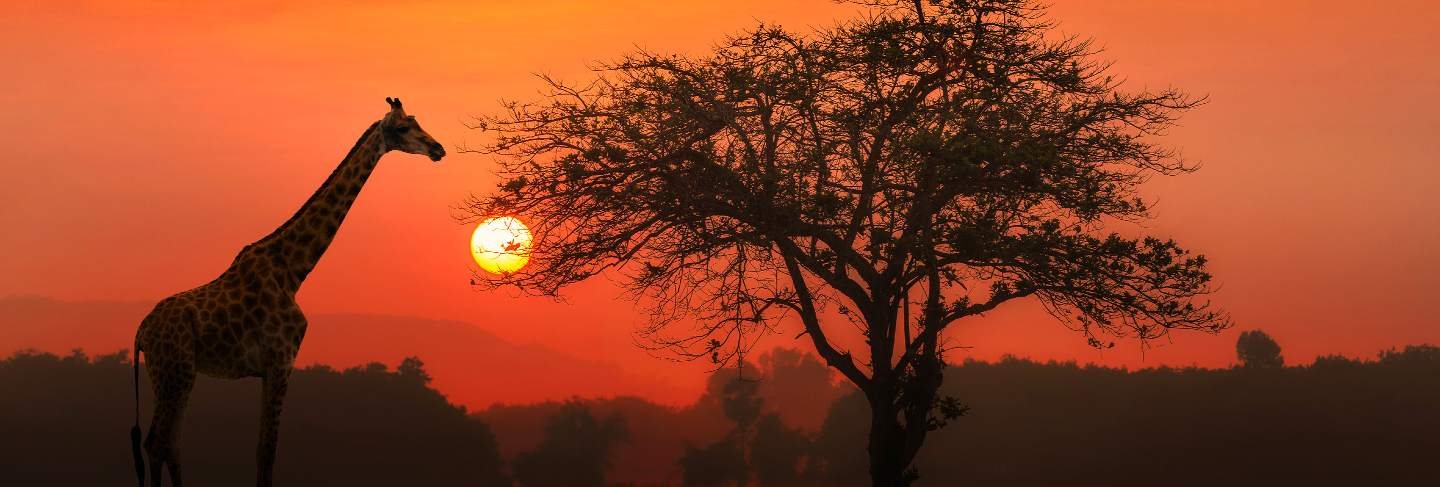 Red sunset with silhouetted african acacia tree and a giraffe.