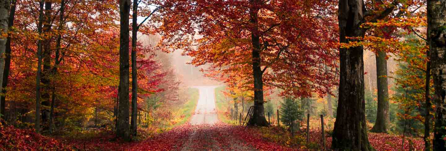 Maple trees in forest