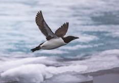 Sp19 Thick Billed Murre