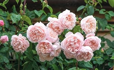 Top roses for garden designers