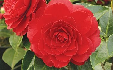 Top tips on camellias