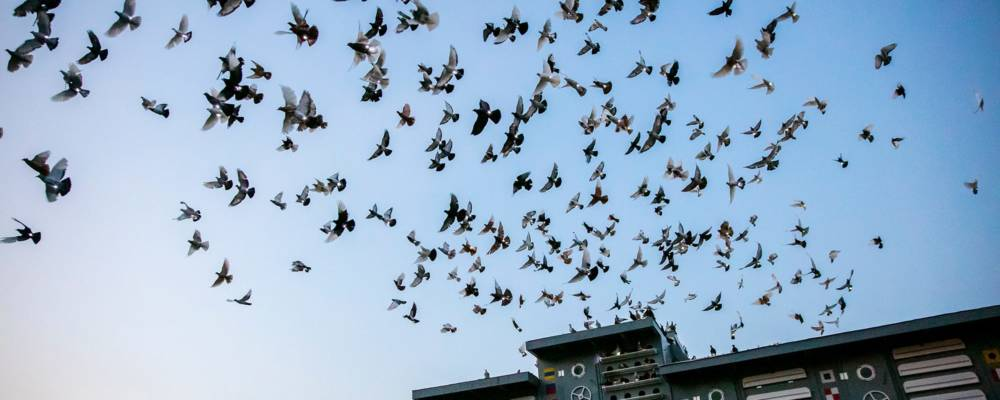 Pigeons soaring overhead Brooklyn Navy Yard at dusk