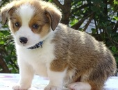 Lovely Pembroke Welsh Corgi Puppies For Sale