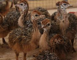 Healthy ostrich chicks and other Birds for sale