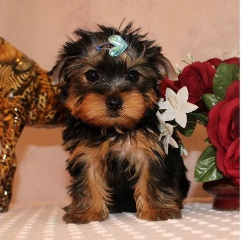 These adorable Yorkies puppies have been family
