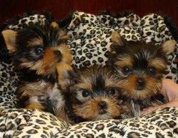 cute yorkie puppies need good homes now