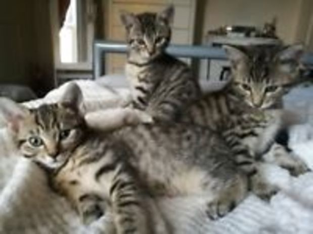 Beautiful Bengal kittens ready now