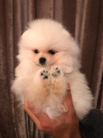 Pomeranian Puppies Boys And Girls
