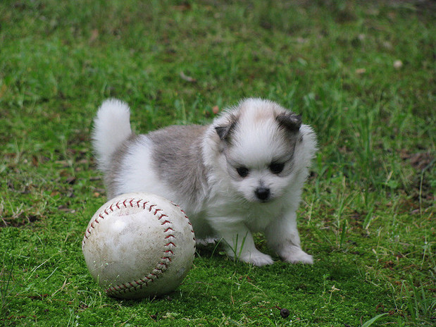 Pomeranian Puppies Boys And Girls for sale