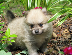 Pure Pomeranian puppies for sale.
