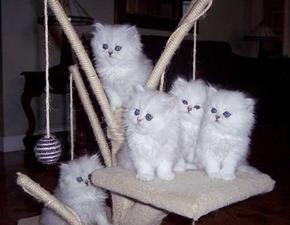 Vaccinated white Persian kittens