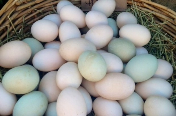 Fertile hatching parrot eggs and babies parrots