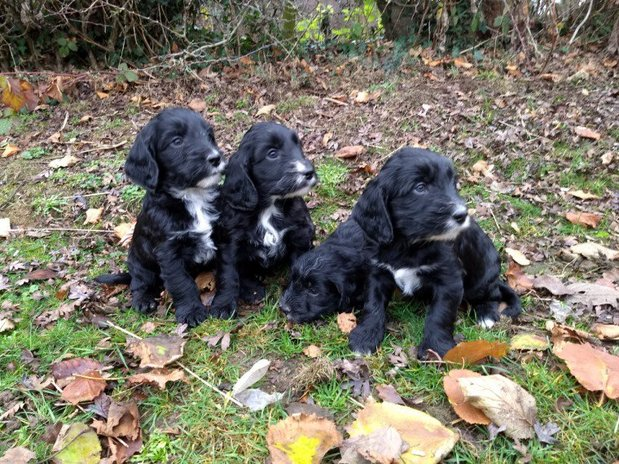 Cockapoo Puppies (top Quality)