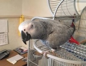 Lovely talking African gray female and large cage