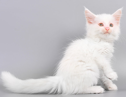 Maine coon kittens for rehoming.