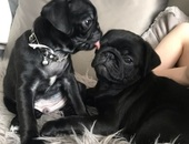 Kc Reg Pug Puppies Left Ready Now